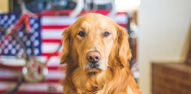 犬の中でもラブラドールのような犬はしつけで素晴らしいペットへ!